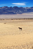马在多汁南部非洲的干旱台地高原沙漠,纳米比亚 免版税库存照片
