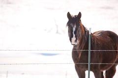 马在多雪的牧场地 免版税库存照片