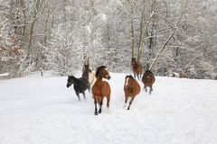 马在多雪的草甸疾驰 免版税库存图片
