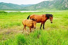 马在大草原 库存照片