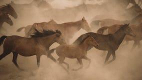 马在尘土的奔跑疾驰 免版税库存图片