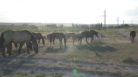 马在岩石附近吃草 股票视频