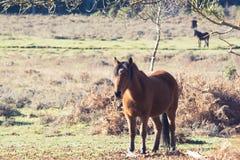 马在新的森林里 免版税库存照片