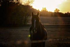 马在日落的牧场地 免版税图库摄影