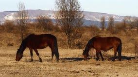 马在草甸吃草 股票视频