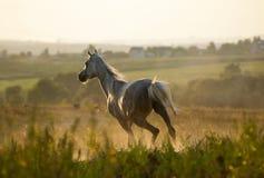 马在日落的赛跑疾驰 库存图片