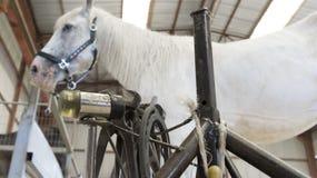马在有钉马掌铁匠立场的槽枥 免版税库存图片