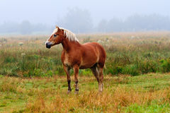 马在有雾的草甸 免版税库存图片
