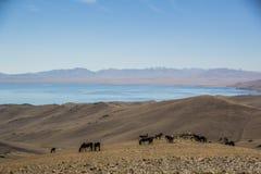 马在柯尔克孜山 库存图片