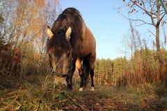 马在森林沼地吃草在秋天树附近 免版税库存图片