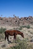 马在沙漠 免版税图库摄影