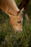 马在牧场地 库存图片