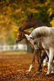 马在秋天 免版税库存图片