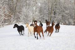 马在积雪的草甸疾驰 库存图片