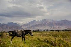 马在美丽的Kirgizstan狂放的区域  库存照片