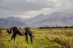 马在美丽的Kirgizstan狂放的区域  免版税库存照片