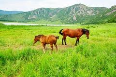 马在草原 库存照片