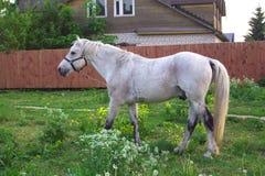 马在草甸在村庄 图库摄影
