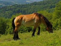 马在草甸在波兰 免版税库存照片