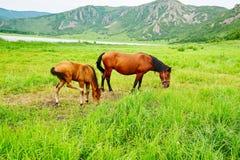 马在草甸 免版税库存照片