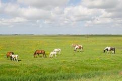 马在草甸 免版税库存图片