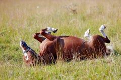 马在草滚动。 免版税库存图片