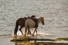 马在蒙古的沙漠 库存图片