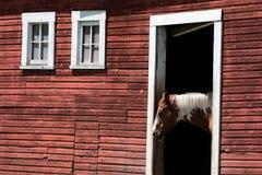 马在谷仓 库存照片