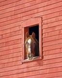 马在谷仓 免版税库存图片