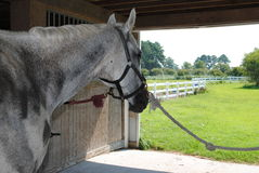 马在谷仓 库存图片