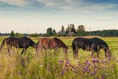 马在豪华的夏天牧场地 免版税库存照片
