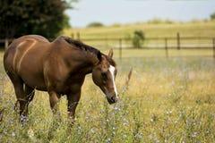 马在野花牧场地  库存图片
