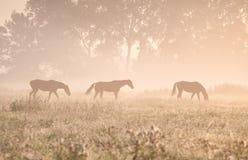 马在阳光和雾下 免版税库存图片