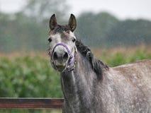 马在雨中 库存图片