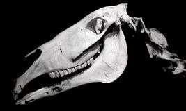 马在黑色查出的头骨配置文件 免版税库存图片