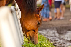 马在寻找新鲜的草的槽枥 库存照片