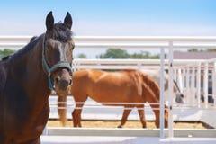 马在他们的小牧场站立并且吃着干草 免版税库存图片