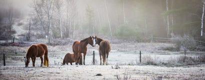 马在他们的畜栏在一个冷淡的11月早晨 免版税图库摄影