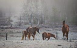 马在他们的畜栏在一个冷淡的11月早晨 免版税库存照片