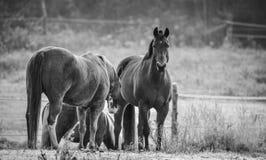 马在他们的畜栏在一个冷淡的11月早晨 库存图片