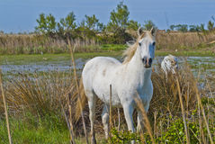 马在Camargue 图库摄影