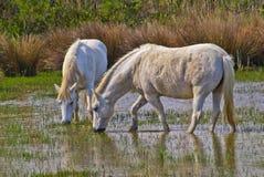 马在Camargue 免版税库存照片