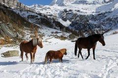 马在Valtournenche 免版税库存图片