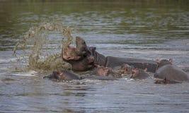 马塞人玛拉国家公园的防护河马母亲 图库摄影