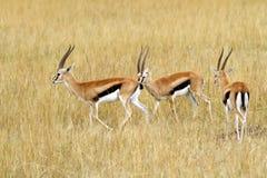 马塞人玛拉汤姆生的瞪羚 库存图片
