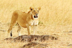 马塞人玛拉狮子 免版税库存图片