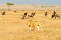 马塞人玛拉狮子 库存照片