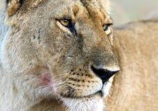 马塞人玛拉狮子 库存图片