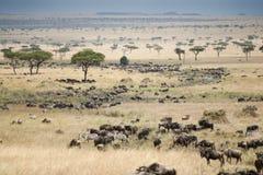马塞人玛拉的平原在肯尼亚 库存图片