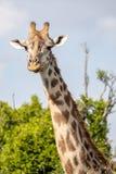 马塞人玛拉长颈鹿,在徒步旅行队,在肯尼亚 免版税库存图片